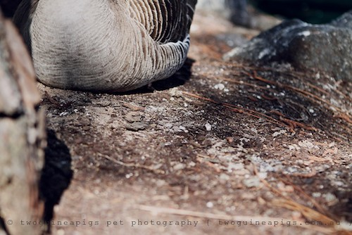 Goose by twoguineapigs pet photography | bird photography