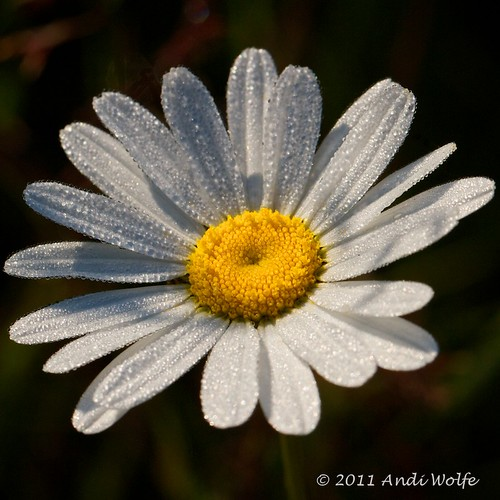 Daisy and dew drops by andiwolfe