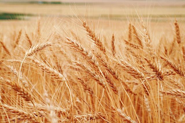 Wheat 2011