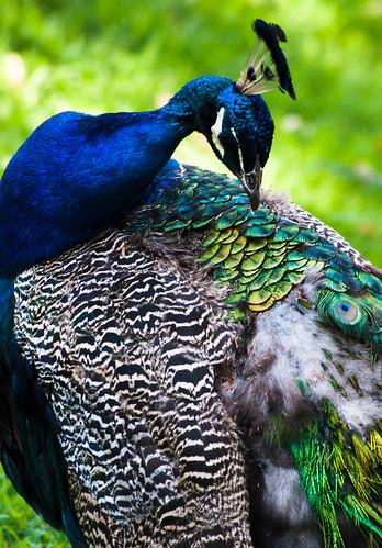 Peacock Preening by Gryffngurl