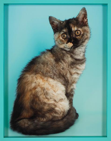 Elad Lassry, British Shorthair Tortie, 2010