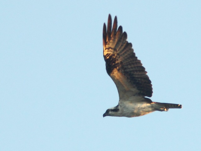 Osprey 20110916