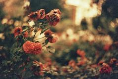 (thisisforlovers) Tags: old flowers flores film analog 35mm photography 50mm lomography bokeh cosina grain filter desenfoque viejo 19 grano fotografía analógico 1000s filtro película f19 redscale