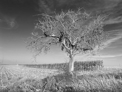 lonely in rimlingen (sunny-afternoon-edition) (photobeam ( Better grays through research  )) Tags: tree afternoon sunny lonely baum