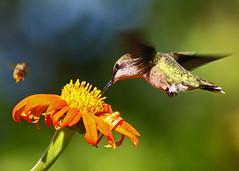 Ruby-throated Hummingbird...#25 (Guy Lichter Photography - Thank you for 1.9M views) Tags: canada birds animals canon winnipeg hummingbird wildlife flight manitoba assiniboinepark 50d hummingbirdrubythroated canonef400mmf56l avianexcellence assiniboineparkgardens amazingwildlifephotography