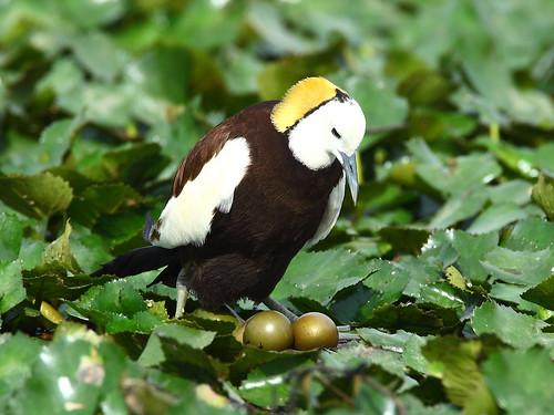 水雉與巢位。(圖片來源:林務局)