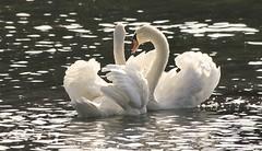 Schwäne (j-verne) Tags: bird nature water animal germany see swan wasser natur schwan vogel schwäne