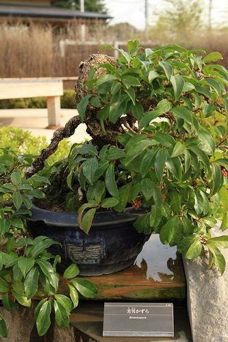 美男かずら Binankazura - 盆栽美術館 - bonsai museum