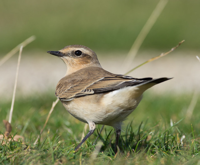wheatear afternoon 300mm Look over back 2