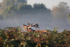 _A7A6641 (asbimages.co.uk) Tags: park morning autumn sunset sun mist fall nature animal fog sunrise dawn stag dusk wildlife deer backlit roar reddeer roaring baying rut bushypark bushy rutting cervus cervuselaphus elaphus beastofbushy
