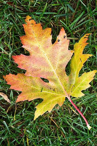wOak_leaf