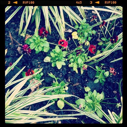Just planted violas