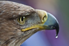Aguila real (Esparkling) Tags: naturaleza detalle bird eye nature look animal closeup ojo fly colours eagle feathers colores raptor ave 365 pajaro mirada avian vuelo aguila plumas rapaz rapacious 2610 esparkling thepinnaclehof tphofweek173