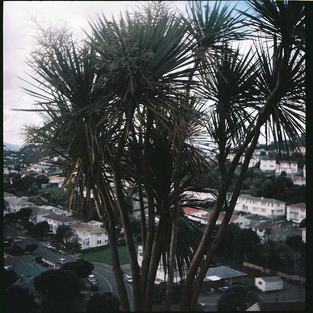 pucky_cabbage_tree