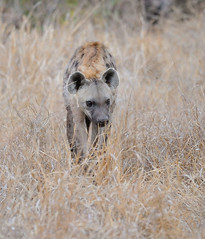 hyena at dusk (neilfif11) Tags: nature animals southafrica hyena sabisabi nikond3