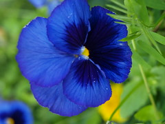 Warm greetings pansies around the world! (tarelkaz) Tags: flowers blue summer macro green garden flora olympuse450 mygardenschool