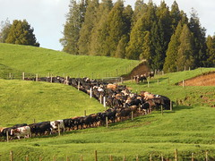 When the Cows Come Home (mikecogh) Tags: cows cattle idiom herd milking agriculture dairy verdant rustic waiotahi