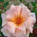 ジュリア(Julia's Rose)