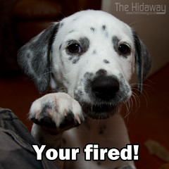 Your fired! (Simon Bone Photography) Tags: blackandwhite dog pet girl flash spots spotty dalmatian jemima k9 theapprentice canon420ex yourfired alansugar stofendiffuser canon1740mmlf4 canoneos7d lordsugar