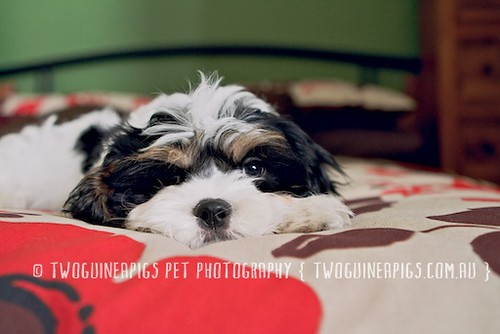 Aw Bernard the cavamalt 3 month old puppy by twoguineapigs pet photography.