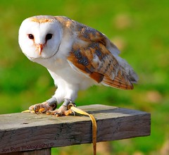 Barn Owl (Grand-Poobar) Tags: wood wild brown white bird nature face birds animal animals night danger barn wings eyes hand natural alba wildlife watching wing beak feathers feather ears stretch raptor owl learning glove perched hunter prey wisdom stretched captive setting ornithology tethered trainer hoot owls avian hunt falconry stretches plumage expertise tether trained gloved tyto