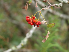 baies rouges (Janphi63) Tags: france nature fruits fleurs tarn arbre fort insectes flore 81 faune brassac