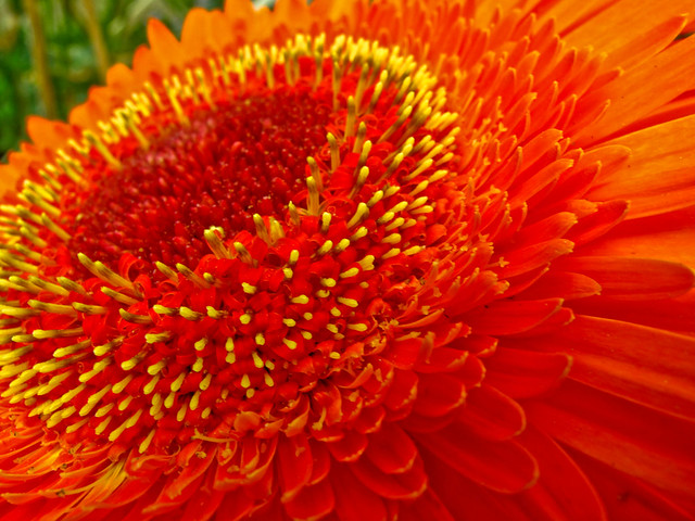 IMG_2222 the Barberton daisy (Gerbera jamesonii),非洲菊