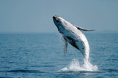 (Cyron) Tags: ocean whale humpback leap humpbackwhale herveybay breach