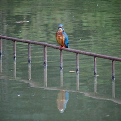 Common Kingfisher in Fudoh-Pond (1/3) (macpapaja) Tags: wild bird nature square casio exf1