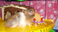 Carrying his biscuit (jellybaby86) Tags: pet cute biscuit hamster satin loved syrian longhaired dandydust
