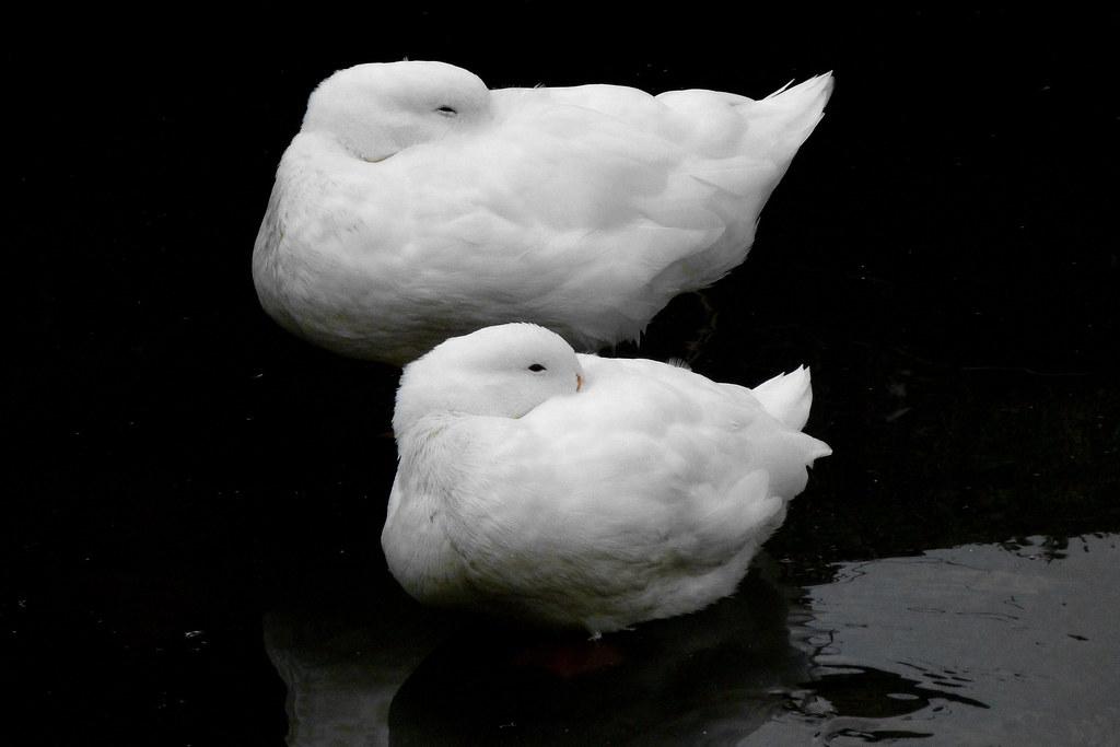 03-11-2011-cottonwool-ducks