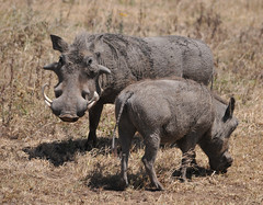 Warthog (R-Gasman) Tags: animal tanzania warthog 2011 ngorongoroconservationarea phacochoerusafricanus