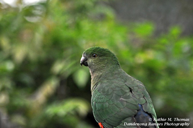 Australian King Parrot - female