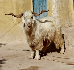 Sacrificial goat (Gill Stafford) Tags: africa house holiday standing hair photography stand long muslim islam religion horns goat courtyard morocco curly sacrifice sacrificial eidd authenticadventures gillstafford