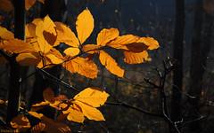 Autumn wallp.1680X1050 (Hansmannn) Tags: autumn leaves forest leav 1680 1680x1050
