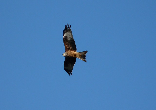 25286 - Red Kite, Goppa Hill