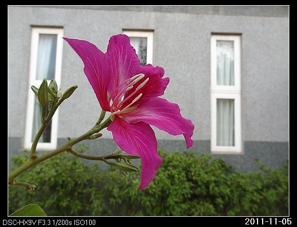 20111105F3豔紫荊