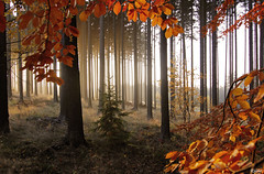 Autumn forest (Rianetna) Tags: wood autumn les forest beech buk bosco faggio