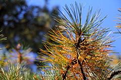 Wertheim National Wildlife Refuge Pine (Mr.TinDC) Tags: trees ny newyork tree pinetree pine li longisland pineneedles shirley wildliferefuge wildliferefuges pintrees wertheimnationalwildliferefuge