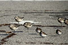 Smith Point Shorebirds (Mr. T in DC) Tags: ny newyork bird beach birds animals li wildlife longisland beaches plover fireisland shorebirds shorebird plovers greyplover pluvialissquatarola blackbelliedplover smithpoint fireislandnationalseashore blackbelliedplovers barrierbeach smithpointbeach smithpointcountypark barrierbeaches greyplovers