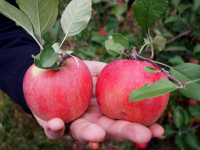 Apple Picking at Tivoli