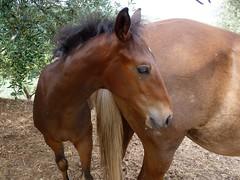 Mammaaa ! (Luigi Strano) Tags: horses italy animals europe italia cavalli animali lazio anagni ciociaria
