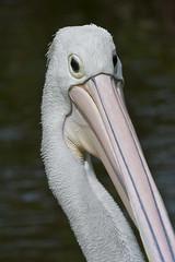Australian Pelican (Pelecanus conspicillatus) (Steve Attwood) Tags: cruise bird nature canon wildlife australia pelican pelecanus pelecanusconspicillatus