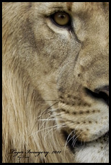 Naturally Wild (Tiger Imagery) Tags: wildlife lions bigcats africanlion captivewildlife