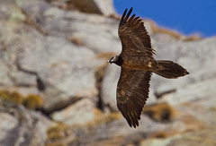 Gipeto - Bearded Vulture (Fabrizio Moglia) Tags: bartgeier beardedvulture gypaetusbarbatus gypatebarbu