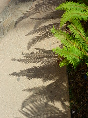 Farnschatten (Jrg Paul Kaspari) Tags: shadow paris fern floral leaves garden leaf shadows jardin blatt bltter schatten garten farn beton polystichum branly polystichumsetiferum setiferum schildfarn borstiger