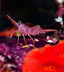 dshrimp8961 (gerb) Tags: red macro eye topv111 510fav topv333 underwater shrimp scuba tvp 105mmf28micro d7000