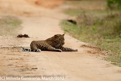 panthera pardus kotiya - Suduweli mulla (M i l i n d a) Tags: cat wildlife safari leopard bigcat srilanka yala panthera yalanationalpark pantheraparduskotiya kotiya ruhununationalpark