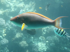 Beautiful fish, Red Sea (Sharm-El-Sheikh) (Kristel Van Loock) Tags: sea mer fish mare redsea egypt sharmelsheikh egitto underwaterworld egypte rodezee marerosso