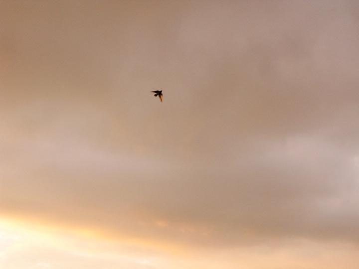 vancouver crow migration 010